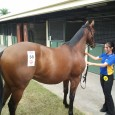Bit slow getting sectionals through so thought I'd just throw a few horses up that have been purchased lately. MATTHEW DUNN RACING: http://www.matthewdunnracing.com.au/horse-available SIZZLING Filly: DAM – Chai 1st Dam […]